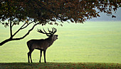 Silhouette of a Red deer stag (Cervus elaphus) bellowing during the rutting season at the Holkham Estate, Norfolk, UK