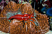 """Scarlet cleaner shrimp, Lysmata debelius. It'a a cleaner shrimp from Indo-Pacific that is very popular on the aquarium trade. In the reef it lives in a restrict territory where he set up a """"cleaning station"""". Fish came close to get skin parasites removed by the shrimp. Aquarium photography"""