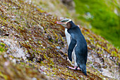 A Yellow-eyed penguin (Megadyptes antipodes) on a slope on Enderby Island, a sub-Antarctic Island in the Auckland Island group, New Zealand.