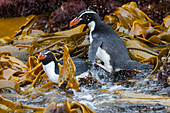 Snares penguins (Eudyptes robustus), also known as the Snares crested penguins in the kelp at the waters edge of Snares Island, New Zealand.