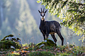 Chamois mâle during the start of mating season (Rupicapra rupicapra ) Les Planes, Switzerland. native to mountainous parts of central and southern Europe and Asia Minor.