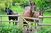 3 Horses looking over a gate