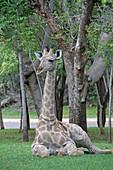 African giraffe laying on lawn, Zimbabwe.\n