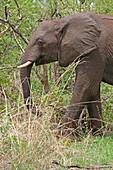 African Elephant in bushveld, Victoria Falls National Park, Zimbabwe.