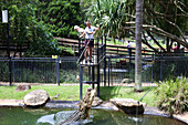 GOLD COAST, AUS - DEC 12 2018:Crocodile trainer feeds a Saltwater Crocodiles in Currumbin Queensland, Australia. Crocodiles have the strongest bite of any animal in the world.