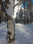 Birch in back light, Pyhä-Luosto Nationalperk, Finland
