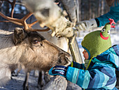 Feeding toddler at reindeer, Pyhä-Luosto, Finnish Lapland