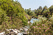 Palm grove on the river behind the palm beach of Preveli in summer, central Crete, Greece