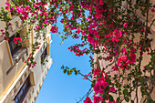 Colorful flowers in the bright streets of the old town of Rethymno, North Crete, Greece