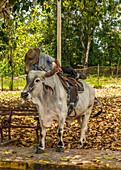 Farmer rides his cow, Pinar del Rio, Cuba