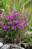 Irish Bell Heath, Daboecia cantabrica, Killarney National Park, Ireland, Europe
