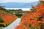 Montbretien, Crocosmia sp., Dingle Peninsula, County Kerry, Ireland