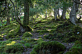 Tomies Woods, Killarney National Park, County Kerry, Ireland, Europe