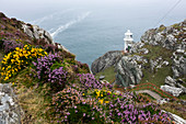 Lighthouse, Heather and Gorse, Sheep's Head, Mizen Head, County Cork, Ireland