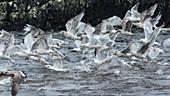 Herring Gulls flying, Larus argentatus, Ireland, Europe