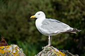 Herring Gull, Larus argentatus, Ireland