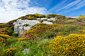 Flower meadow with rocks, Connemara National Park, County Galway, Ireland