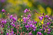 Irish heather, Daboecia cantabrica, Ireland, Europe
