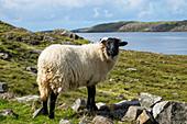 Shetland Sheep at Killary Fjord, Connemara, County Galway, Ireland