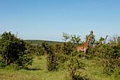 Giraffe in the savannah, Safari, National Park, Masai Mara, Maasai Mara, Serengeti, Kenya