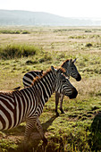 Zebras in the savannah, safari, Lake Nakuru National Park, Nakuru, Nakuru County, Kenya