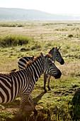 Zebras in der Savanne, Lake-Nakuru-Nationalpark, Nakuru, Nakuru County, Kenia