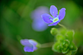 Flowering of the honorary award, Veronica, Chiemgau Alps, Upper Bavaria, Bavaria, Germany