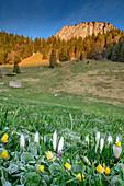 Flower meadow with hoarfrost and Heuberg in the background, Heuberg, Chiemgau Alps, Chiemgau, Upper Bavaria, Bavaria, Germany