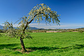 Blossoming apple tree with Chiemsee and Chiemgau Alps in the background, Chiemgau, Upper Bavaria, Bavaria, Germany