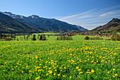 Dandelion meadow with Aschau and Chiemgau Alps in the background, Aschau, Chiemgau, Upper Bavaria, Bavaria, Germany