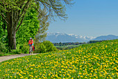 Woman cycling, dandelion meadow in the foreground, Alps in the background, Waginger See, Benediktradweg, Upper Bavaria, Bavaria, Germany
