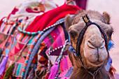 A camel waits for tourists in Petra, Jordan