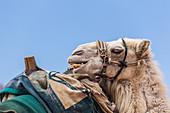 Camel in the Wadi Rum desert in Jordan