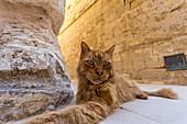 Rote Katze in Mdina, Malta