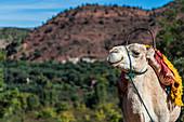 Kamel in einem kleinen Dorf im Atlas-Gebirge in Marokko
