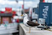 Seagull at Stockholm harbor, Sweden