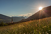 A daisy field at sunset in Alpbach, Tyrol. Just before the meadow is mowed