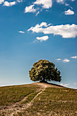 Lone tree on hill, Buonconvento, Tuscany, Italy