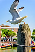 Seagull in the harbor in Caorle, Veneto, Italy