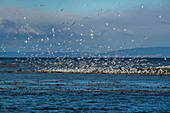Hundreds of South American terns (Sterna hirundinacea) fly into the air from a headland on the edge of the ocean, Isla Magdalena, Magallanes y de la Antartica Chilena, Patagonia, Chile, South America