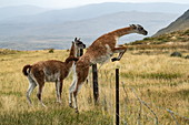 A guanaco (Lama guanicoe) jumps over a wire fence while another first watches, Puerto Natales, Magallanes y de la Antartica Chilena, Patagonia, Chile, South America