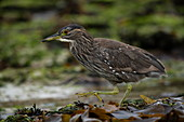 A Black-crowned Night Heron (Nycticorax nycticorax falklandicus) explores the kelp-strewn rocks at low tide, Carcass Island, Falkland Islands, British Overseas Territory