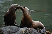 South American (also Patagonian) sea lions (Otaria flavescens) rest on the rocks near the glacier, Garibaldi Glacier, near Beagle Channel, Alberto de Agostini National Park, Magallanes y de la Antartica Chilena, Patagonia, Chile, South America