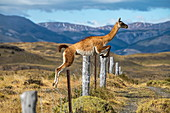 A guanaco (Lama guanicoe) leaps lightly over a wire fence in a hilly area, Torres del Paine National Park, Magallanes y de la Antartica Chilena, Patagonia, Chile, South America
