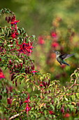 A green fire hummingbird (Sephanoides sephaniodes) approaches bright red flowers in search of nectar, Caleta tortel, Capitán Prat, Patagonia, Chile, South America