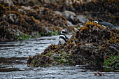 Magellanic penguins (Spheniscus magellanicus) prepare to leave rocks covered with algae and algae and return to the water, Castro, Chiloe Island, Los Lagos, Patagonia, Chile, South America