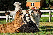 A group of llamas (Lama glama) make contacts on a roadside farm near the edge of Llanquihui Lake near Puerto Montt, Los Lagos, Patagonia, Chile, South America
