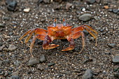 A violin crab freezes so as not to be spotted on a beach of dark rocks and sand, Isla de la Plata, near Manabi, Ecuador, South America