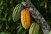 The fruit peels of the cocoa tree grow directly from the branches of Santa Marta, Magdalena, Colombia, Caribbean