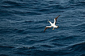 A masked booby (Sula dactylatra) catches a flying fish next to an expedition cruise ship at sea, near Colombia, Caribbean